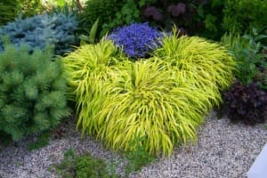 Yellow Japanese Grass